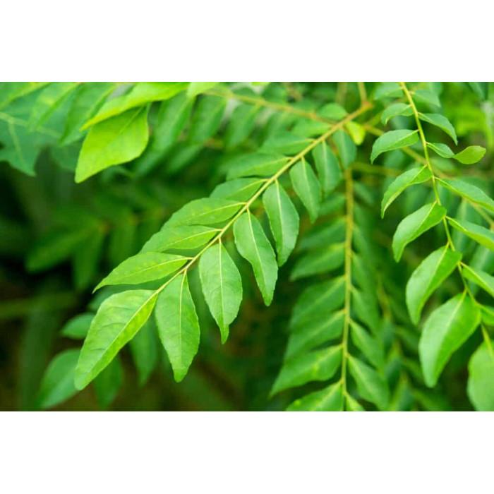 Curry Leaves/Sweet Neem Leaves/Kadhi Pattta (1 Pack)
